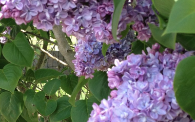 Lilacs were glorious this year